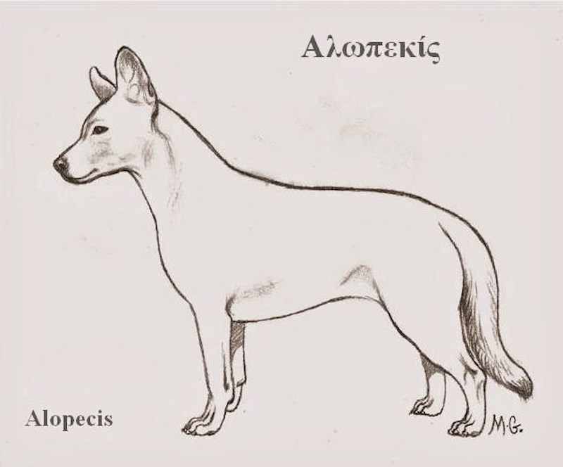 A Typical Alopekis Drawing – History