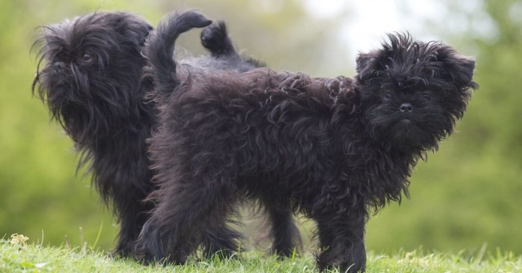 Affenpinscher Facts & Dog Breed Information