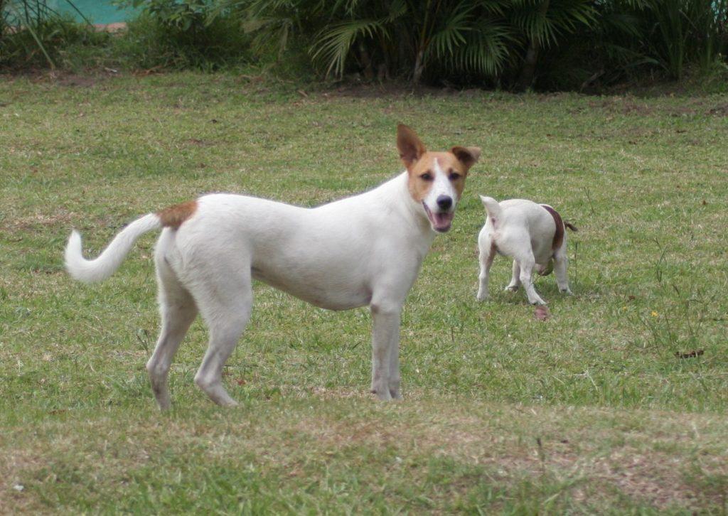 Africanis - Zulu Dog Breed