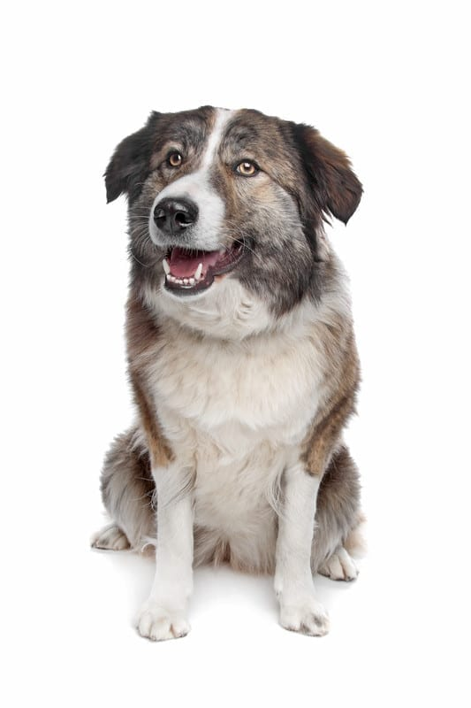 Aidi Dog Breed Facts & Information - Atlas Mountain Dog Breed
