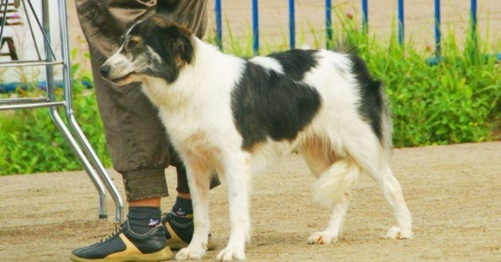 (Atlas Mountain Dog) Aidi Dog Breed in a Dog Show