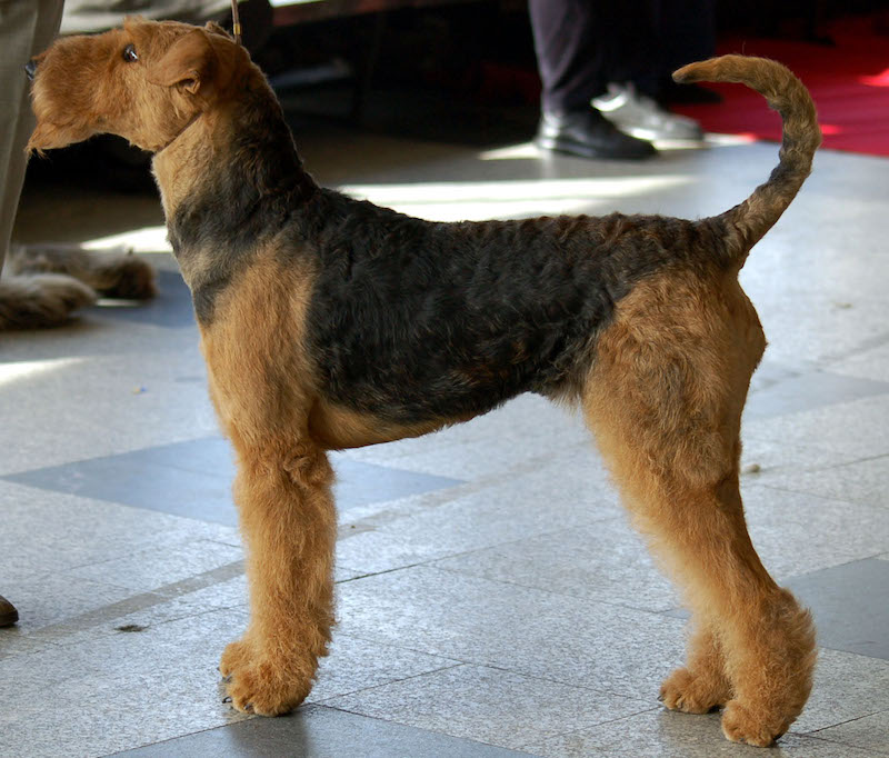 Airedale Terrier Information