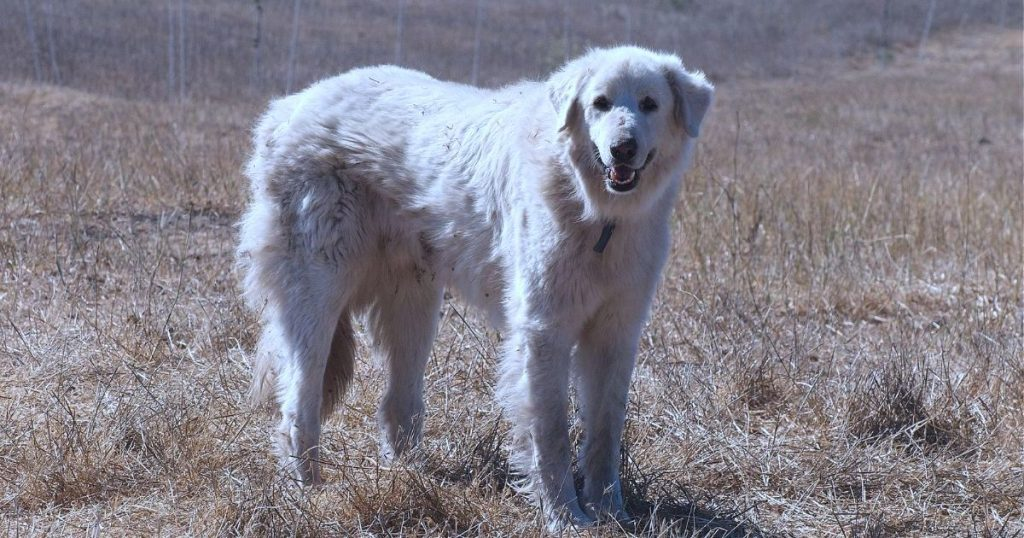 Akbash Dog Breed Information & Facts