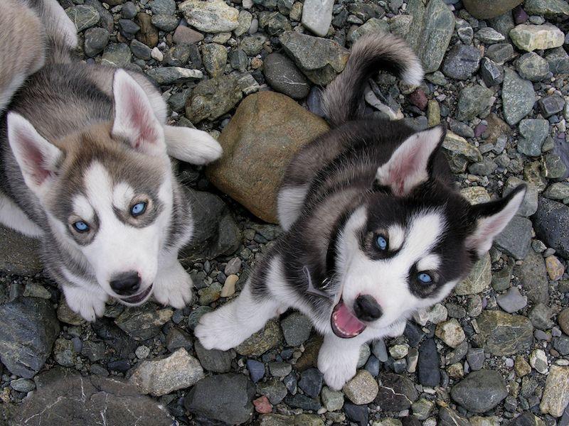 Alaskan Klee Kai Husky Puppies