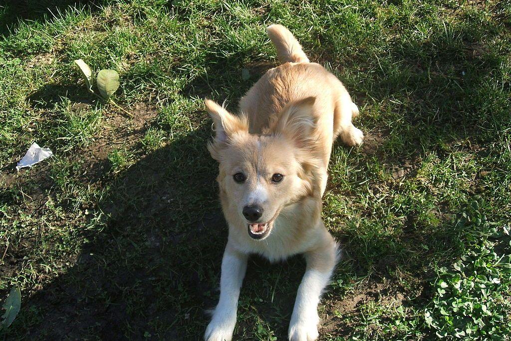 Alopekis Dog on the field