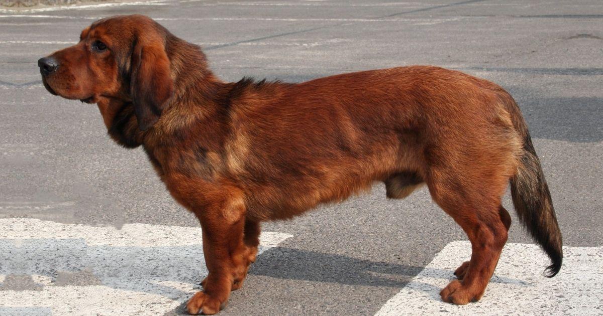 Alpine Dachsbracke Dog Breed Facts and Information