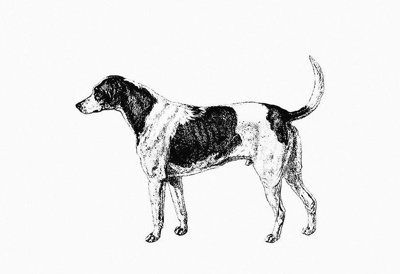 American Foxhound History and Origin
