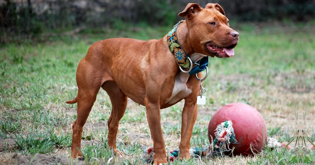 American Pit Bull Terrier Facts & Dog Breed Information