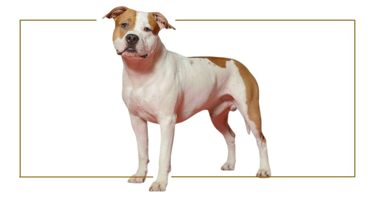 American Staffordshire Terrier Facts & Dog Breed Information