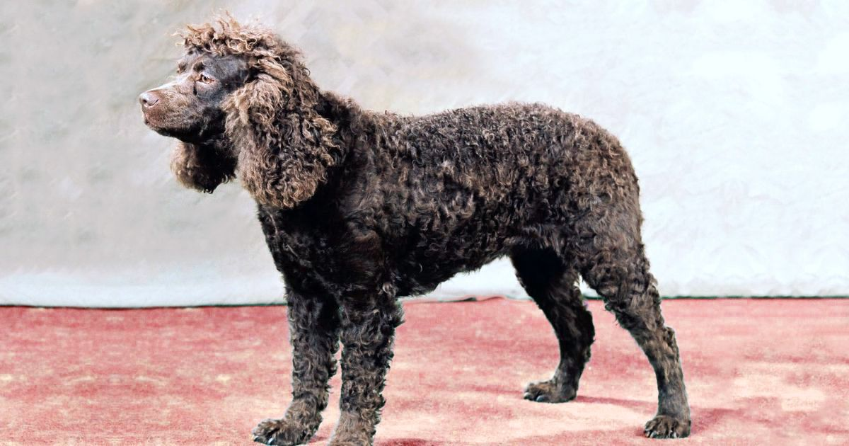 American Water Spaniel Facts and Information