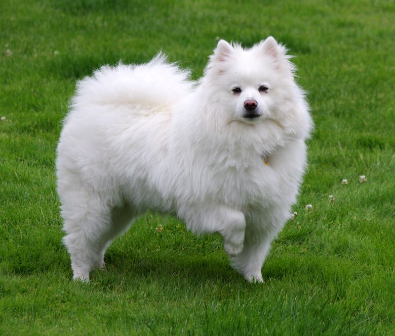 American Eskimo Dog Facts and Breed Information