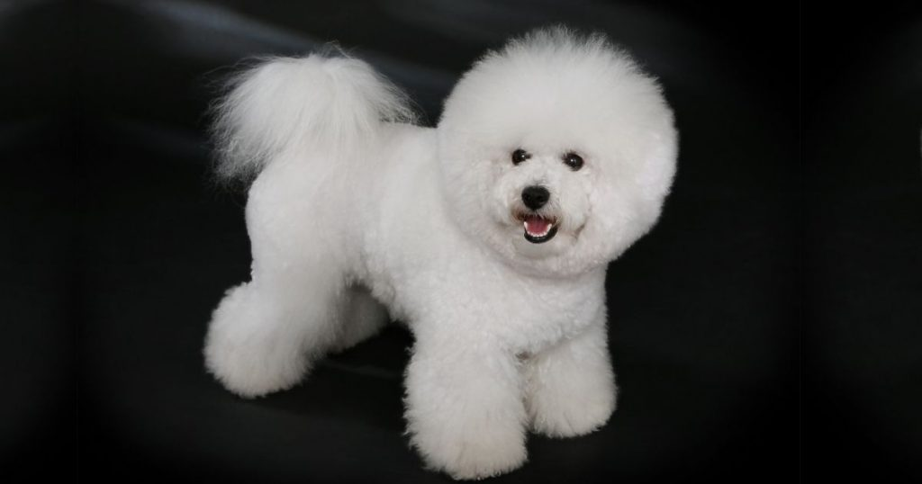 Bichon Frise Dog Breed Information & Facts
