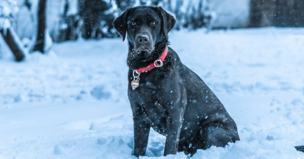 Do Labs Get Cold Does My Labrador Need a Coat in Winter