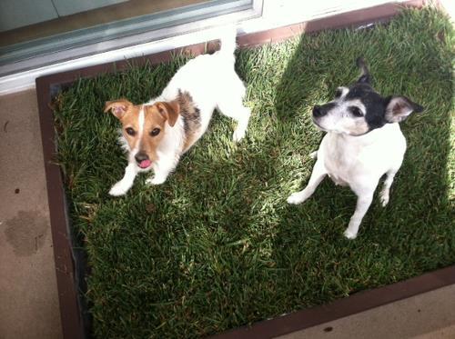 grass litter box for dogs