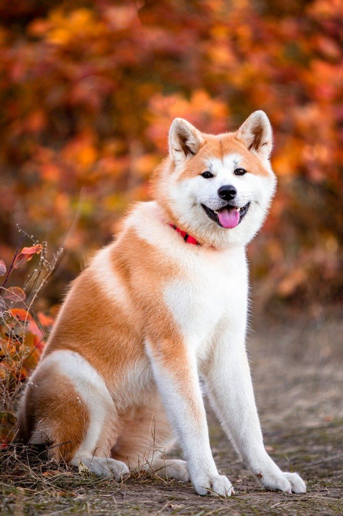 Japanese Akita Dog Sitting