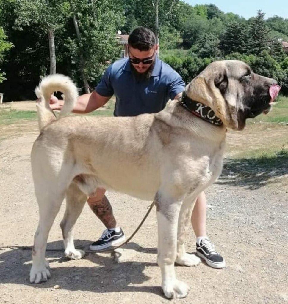 Large Aksaray Malaklisi Dog Outdoor