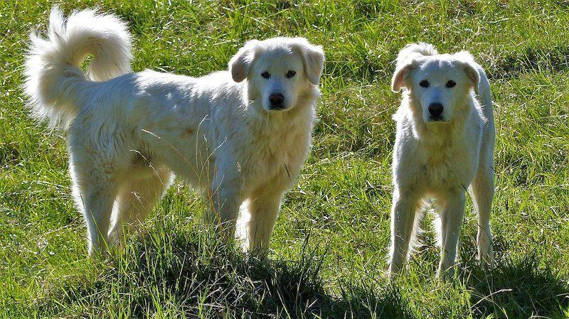 Male vs Female Akbash Dog Breed