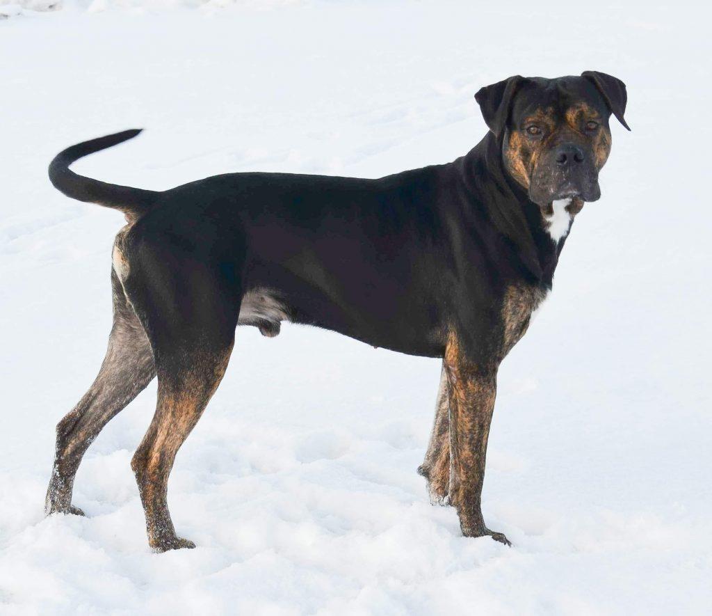 Spanish Bulldog - Alano Español Dog Breed Facts & Info