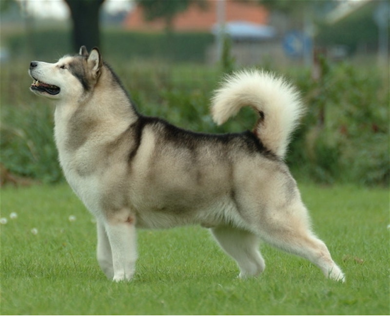 A Well-groomed Alaskan Malamute standing on the field