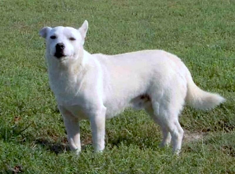 Alopekis Dog Breed Information & Facts