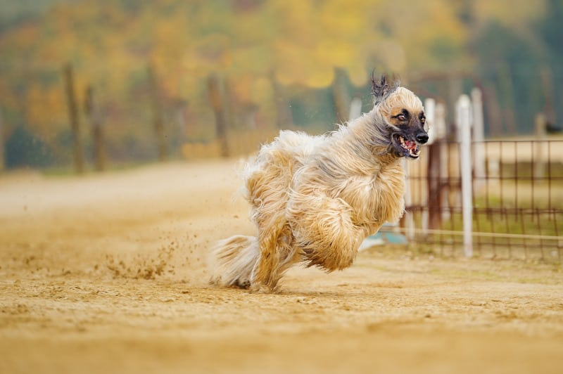 Afghan Hound running some laps