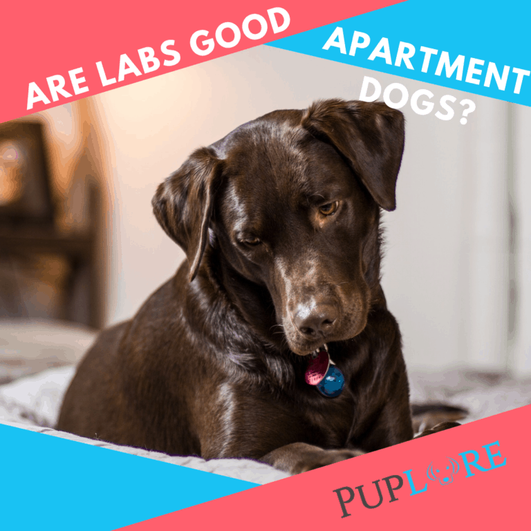 Can a Labrador Live in an Apartment or Small House?
