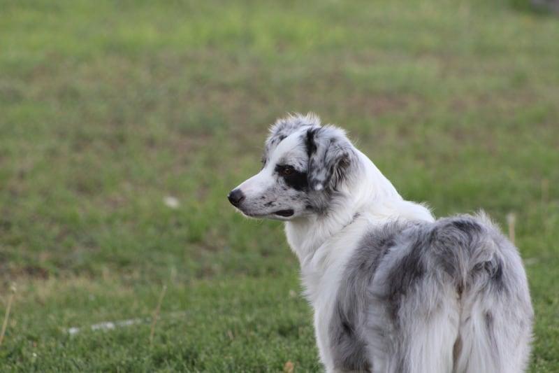 Australian Shepherd herding dog breed