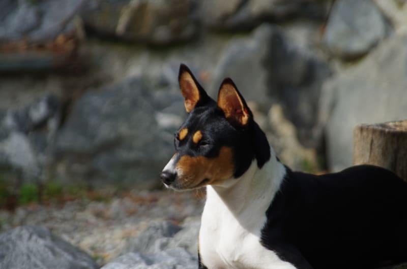 Basenji fast small dog breed