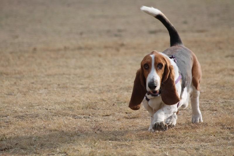 Basset Hound is the slowest medium-sized dog