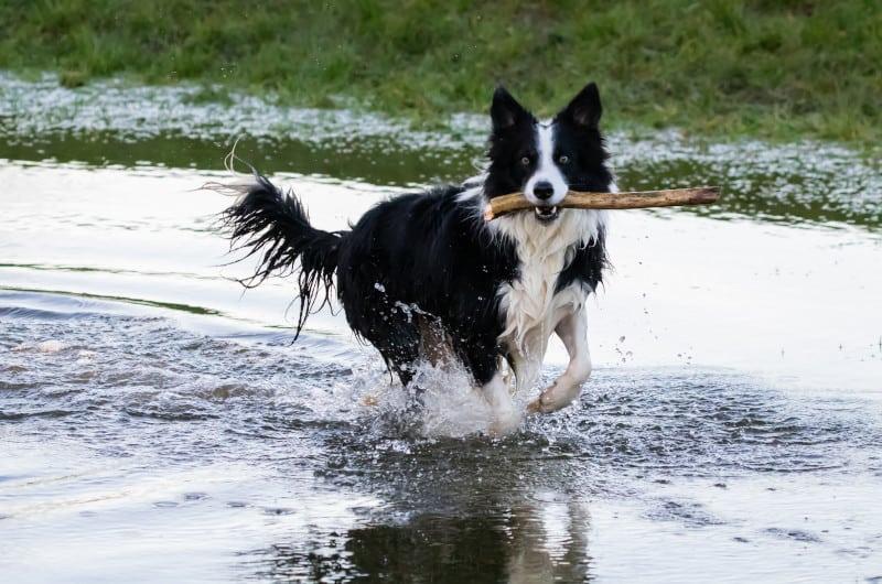 Border Collie agility sport dog fetching a stick