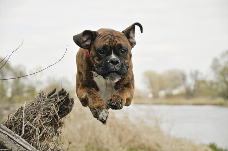 A bounding Boxer dog