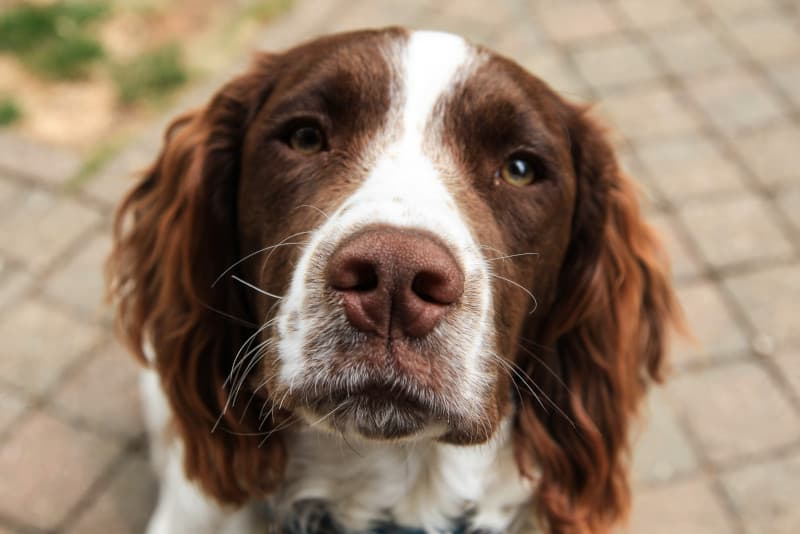 Brittany Spaniels are fast. Those eyes know how to run!