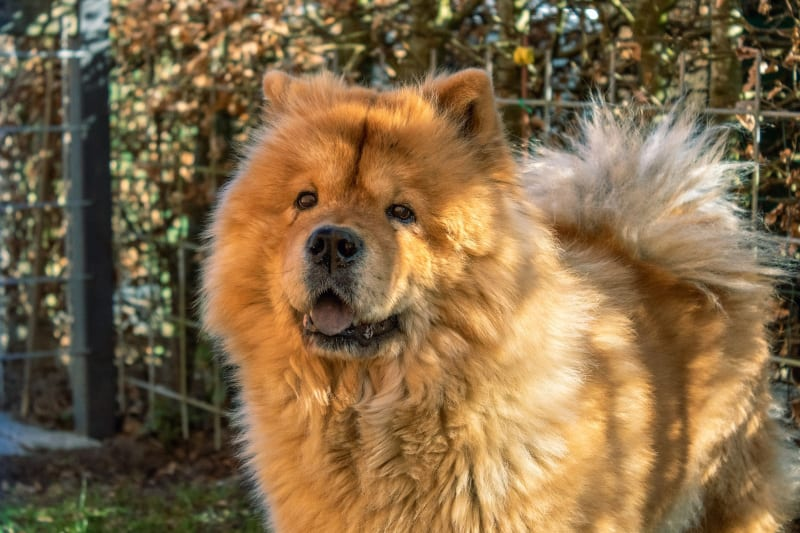 A slow Chow Chow