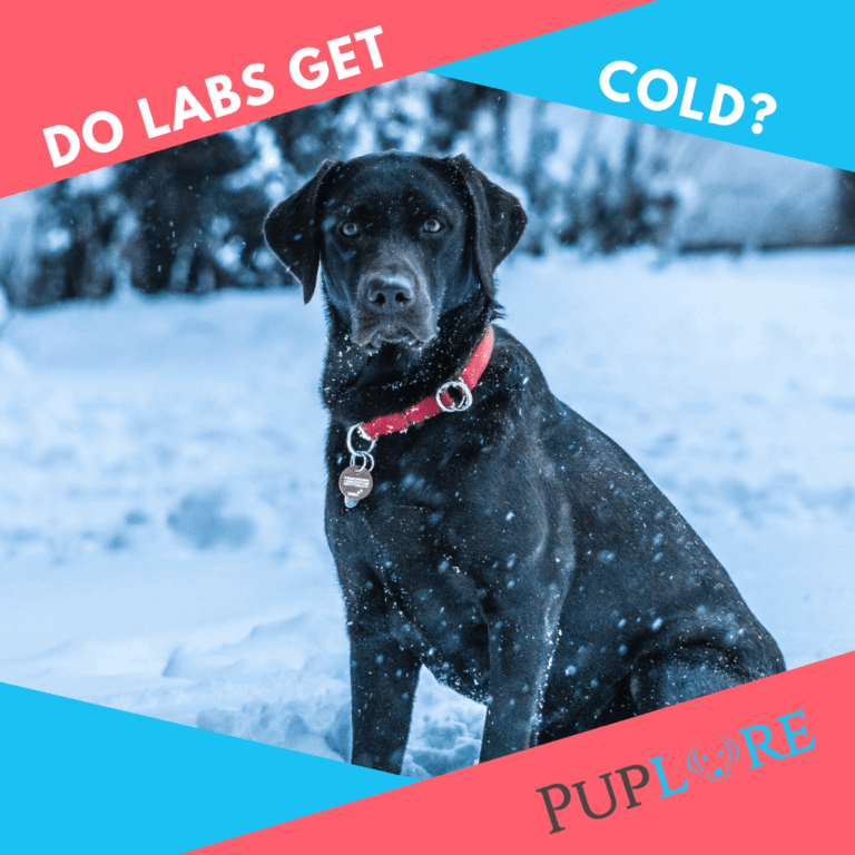 Do Labs Get Cold? (Does My Labrador Need a Coat in Winter)
