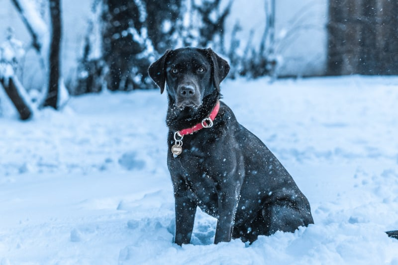 Labrador in the snow outside