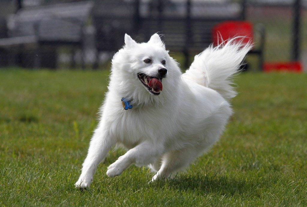 American Eskimo Spitz running on the field