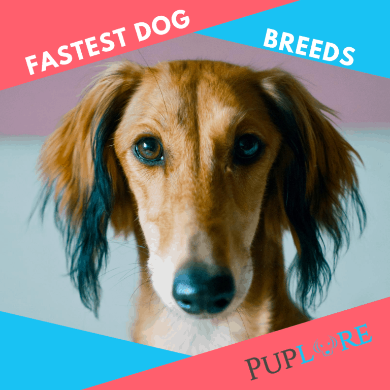 World's 30 Fastest Dog Breeds [Try to Keep Up!]