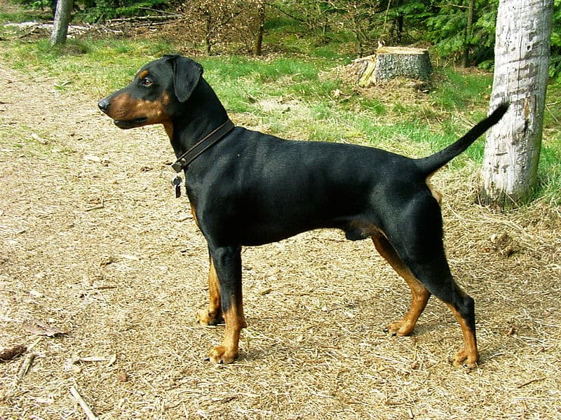 German Pinscher dog standing with straight tail