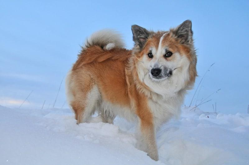 Icelandic Sheepdog playing in snow