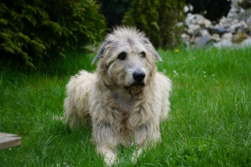 Irish Wolfhound is a strong dog