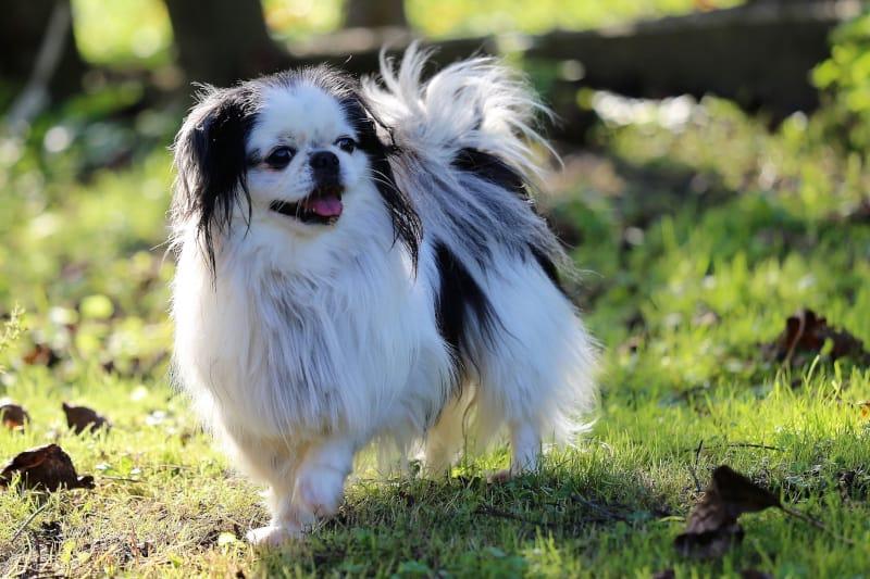 Japanese Chin dog breed