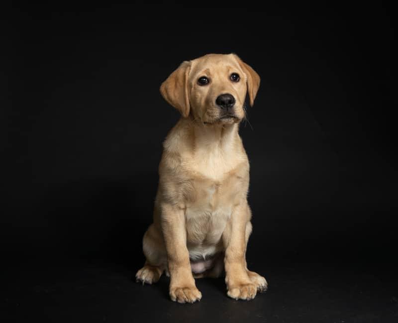 Labrador growth factors