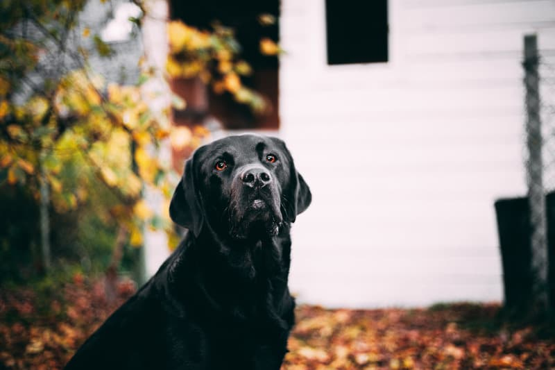Fully grown Labrador Retriever