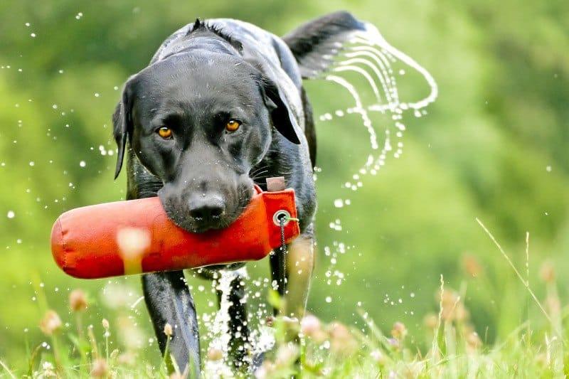 Labrador Retriever training with toy