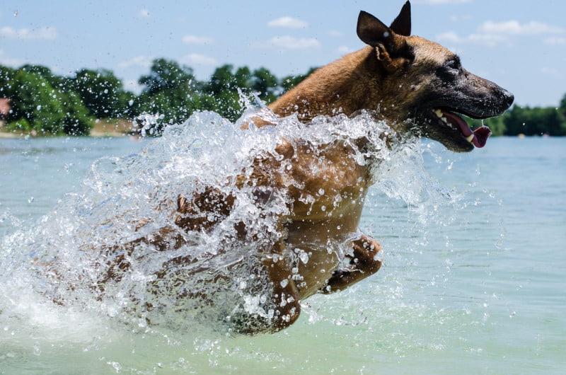 Malinois running through water