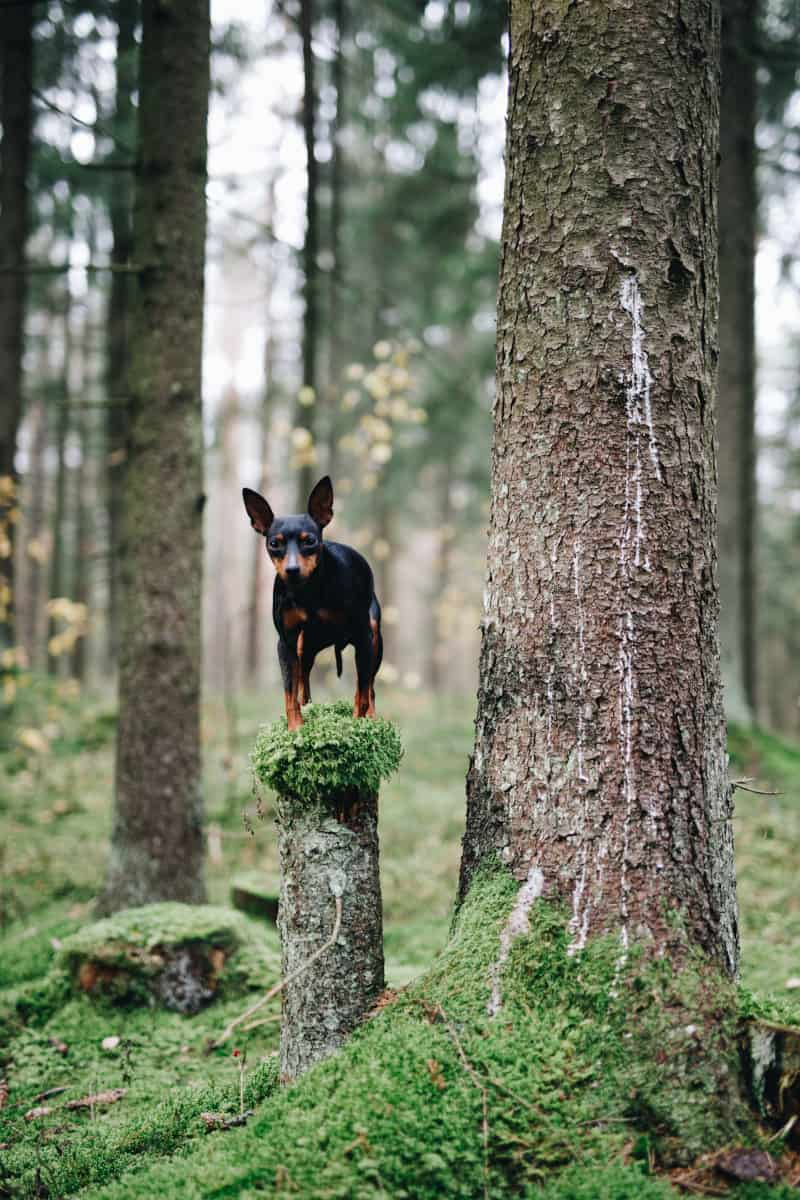 Miniature Pinscher standing on stump in the woods