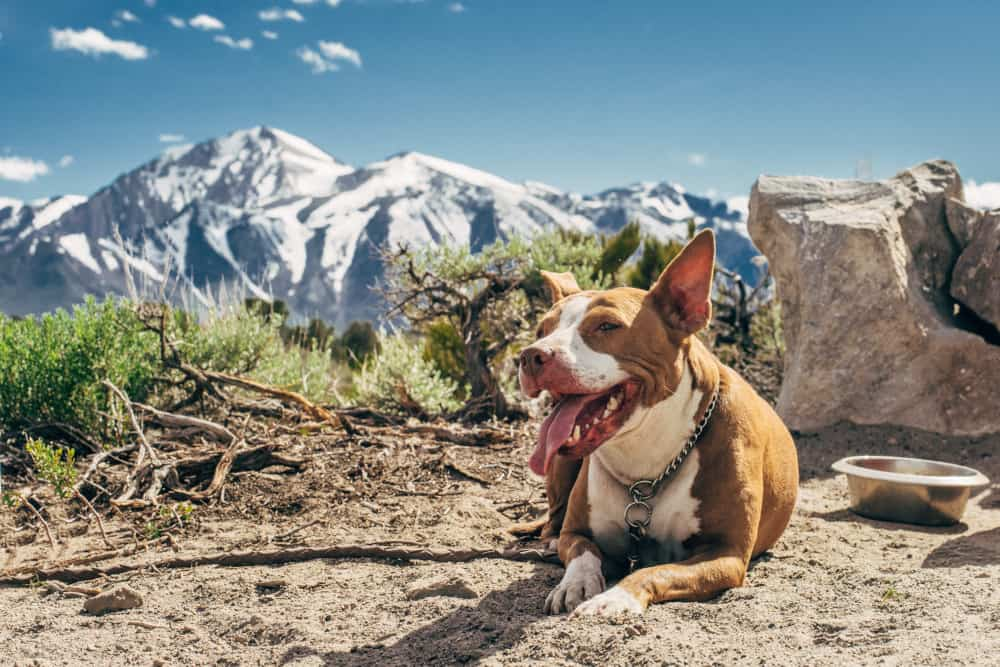 Pit bull chilling on a mountain