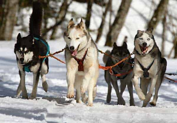 Pack of Husky Dogs Running in Snow