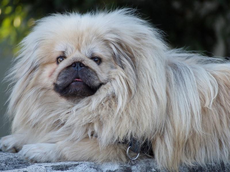 Friendly but slow Pekingese dog
