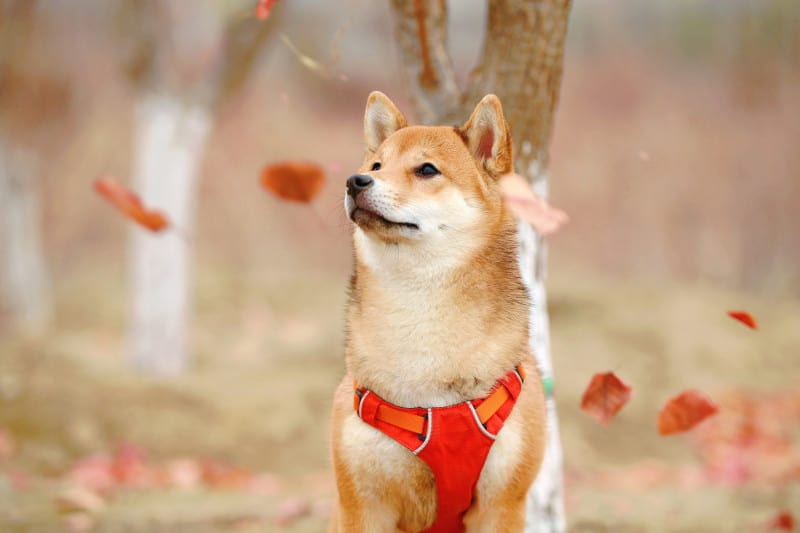 Shiba Inu likes fall runs